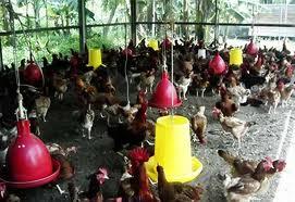 Induk Ayam Kampung