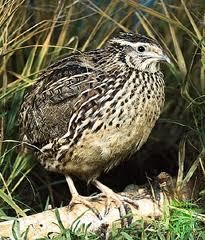 "Burung puyuh disebut juga Gemak (Bhs. Jawa-Indonesia). Bahasa asingnya disebut ""Quail"""